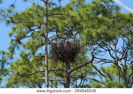 An American Bald Eagle Is Roosting In Nest High Up In Pine Trees In Bonita Springs, Southwest Florid