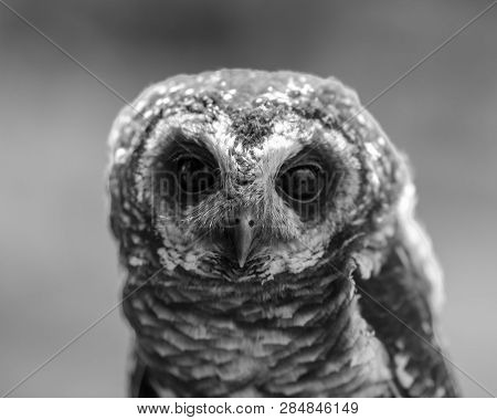 A closeup view of a male African Wood Owl during a flying show at the African Raptor Centre, Natal Midlands, South Africa. poster