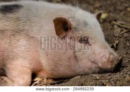 Portrait Of Sleeping Black-white Pig Breed Vietnamese Pot-bellied. Photography Of Nature And Wildlif