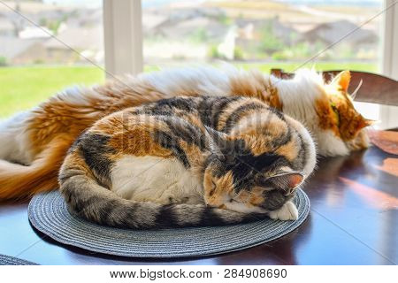 Two Cats, A Calico And A Maine Coon, Relax In The Sun On A Table In Front Of A Window