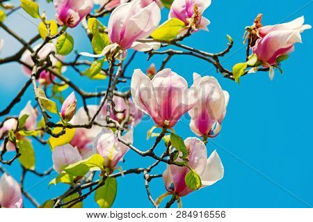 Flowers Blossoming With Violet Petals On Sunny Day. Magnolia Tree In Blossom On Blue Sky. Spring Sea