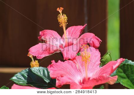 Vibrant Pink Lilies In Full Bloom Against A Blurred Background.