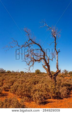Gnarly Old Dead Tree With Twisted Branches Stands Among The Saltbush In The Dusty Red Soils Of The D
