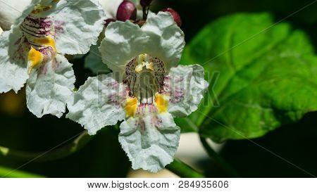 White Flower On Decorative Tree Catalpa At City Garden Close-up, Selective Focus, Shallow Dof