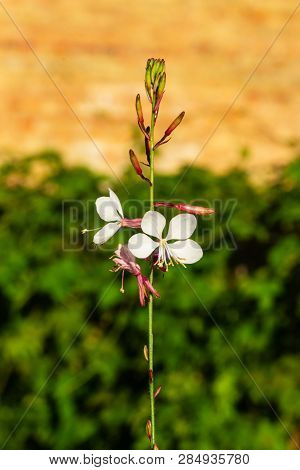White Gaura Or Oenothera Lindheimeri Blooming At Flowerbed Flowers And Buds Close-up, Selective Focu