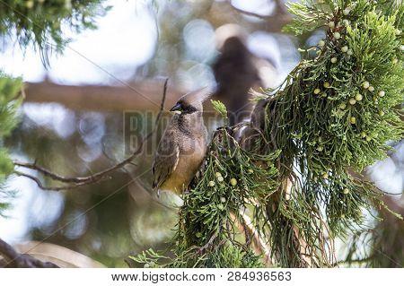 Mouse Bird Obtaining Sustenance In Conifer Tree