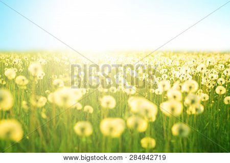 Spring Meadow Flowers On Summer Field Of Dandelion At Sunlight Backdrop Sunny Evening Sky Sun Light.