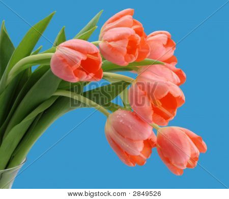 Pink Tulips Blue Background
