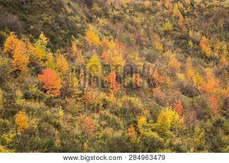 Autumn Fall Trees On Hillside Arrowtown Nz