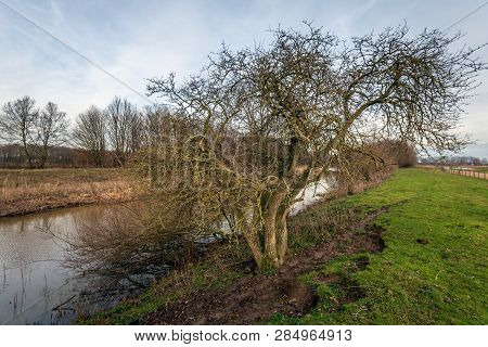 Tree With A Tangle Of Bare Branches On The Bank Of The Narrow Dutch River Donge Near The City Of Oos
