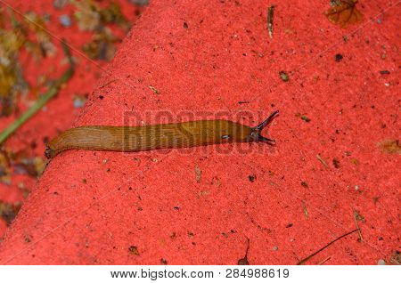 Snail Without Shell On The Ground, Open Antenas, Red Background Close Up