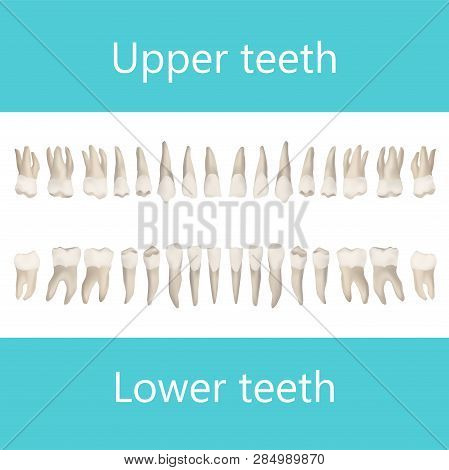 Upper And Lower Adult Teeth. Vector Realistic Anatomical Illustration.