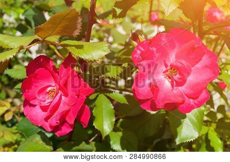 Rose flowers in the spring garden, closeup. Spring flower of red roses under spring sunlight, flower spring landscape with rose flowers in the spring blossom