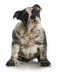 dirty dog - muddy english bulldog puppy sitting on white background poster