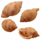 Various views of the Nutmeg Seashell on white background poster
