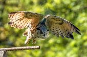 Siberian eagle owl, bubo bubo sibiricus. The biggest owl in the world poster