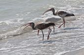 Three White Ibis hunting mole crabs in ocean surf poster