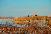 Spoonies flying over marsh at Merced Wildlife Refuge poster