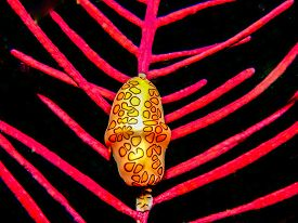 Flamingo Tongue Snail ,cyphoma Gibbosum Is A Species Of Small But Brightly Colored Sea Snail, A Mari