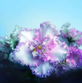 Beautiful Flower Saintpaulia (african Violet ) Close Up