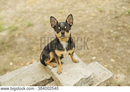 Pet Dog Walks On The Street. Chihuahua Dog For A Walk. Chihuahua Black, Brown And White. Puppy On A