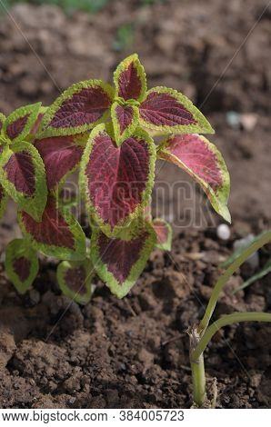 Coleus Plant Of The Family Is Lacunae (lamiaceae). Leaves Are Green-burgundy. Garden And Indoor Plan