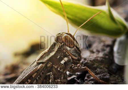 Locusts Perched On The Bark Of An Old Tree. Italian Locust, Locust Family. Locust Italian, Perched O
