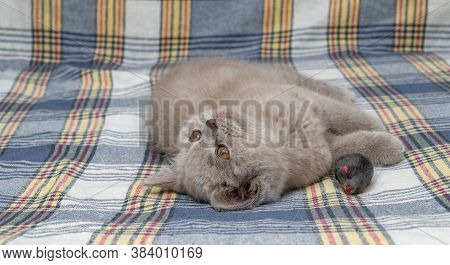 Purebred British Shorthair Cat, Smoky Colour. Small Cute Kitten Lies On A Warm Blanket. Selective Fo
