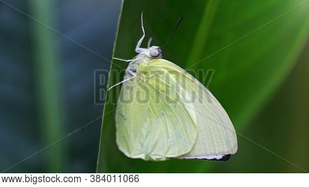 white hairy butterfly hanging on a leaf, macro photo. This gracious and fragile insect is a lepidoptera, living in the tropical jungle near Chiang Mai in Thailand.