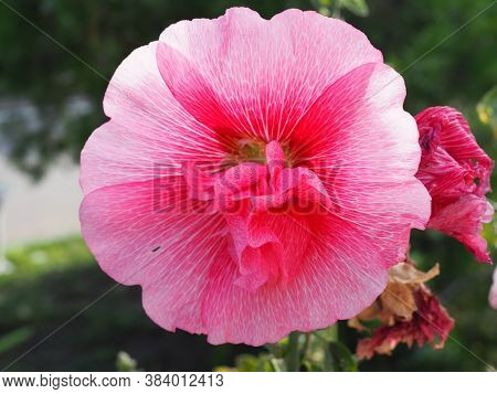 Pink Terry Hollyhock Blossoms. Terry Mallow In Garden. Terry Pink Mallow Growing.