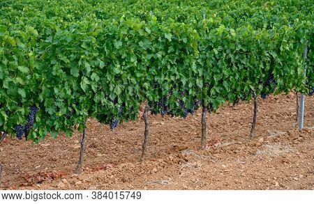 Rows Of Ripe Wine Grapes Plants On Vineyards In Cotes  De Provence, Region Provence, Saint-tropez, S