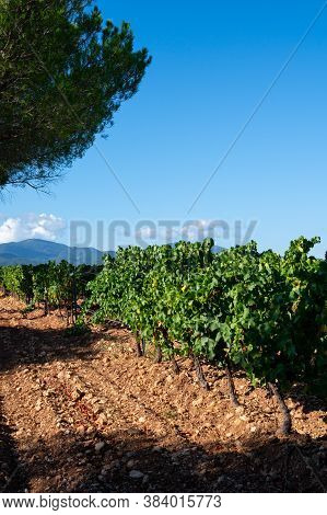 Rows Of Ripe Grenache Wine Grapes Plants On Vineyards In Cotes  De Provence, Region Provence, South