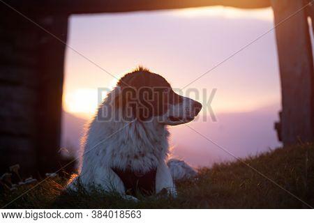 Beautiful white sheepdog sitting near a wooden shack in magic sunset light.