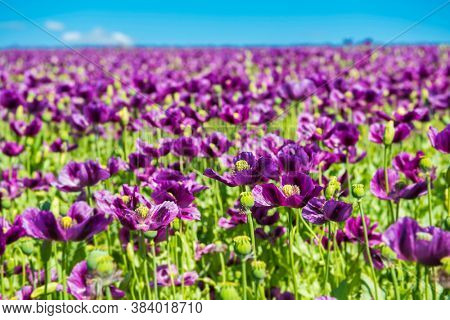 Blooming flowers of purple poppy (Papaver somniferum) field with shallow dof