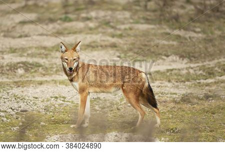 Close Up Of A Rare And Endangered Ethiopian Wolf (canis Simensis) In The Bale Mountains, Ethiopia.
