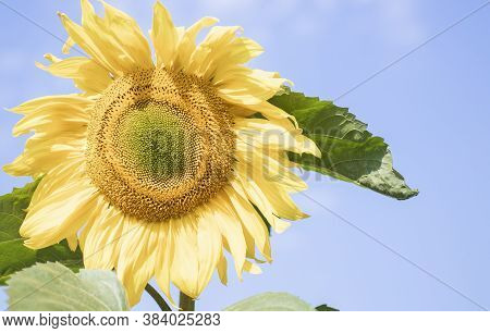 Flowering Sunflower In The Field Of Sunflowers With Honeybee Collecting Nectar And Pollen