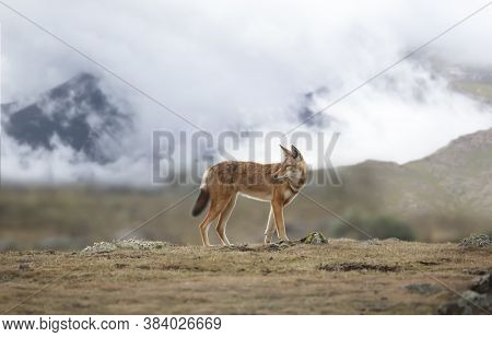 Close Up Of A Rare And Endangered Ethiopian Wolf (canis Simensis) Standing In The Highlands Of Bale