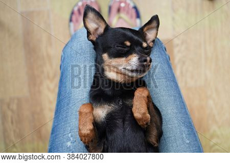 Cute Little Black Dog Toy Terrier Breed Lying On A Woman's Back On Her Lap, Top View. Concept Of Lov