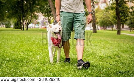 Owner Trains The White Akita Inu Dog At The Park.