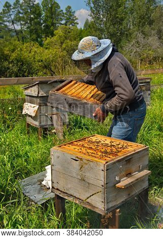 Yabogan. Russia. August 07, 2020. High-altitude Apiary. A Beekeeper Removes The Upper Section Of The