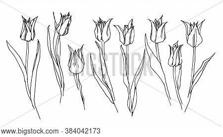 Vector Drawing Of A Set Of Tulips On A White Background. Set Of Tulips With Leaves. Vector Hand Draw