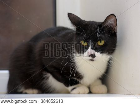 Black And White Shorthair Cat
