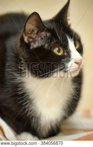 European Shorthair Black With White Classic Cat Portrait