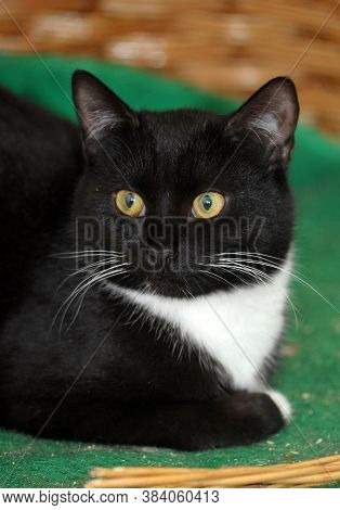 Black With White Breast Cat With Yellow Eyes