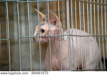 Bald Cat Sphinx In A Cage In A Shelter