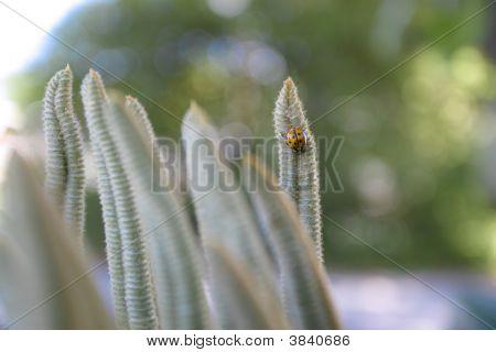 Lady Bug Horizontal