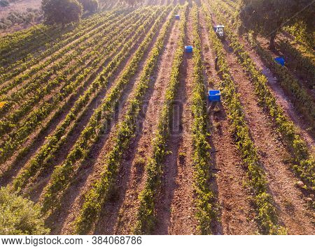 Agriculture Plantation Grapes Vine Vineyard At Sunset. Countryside Beautiful Farms And Vineyards Bea