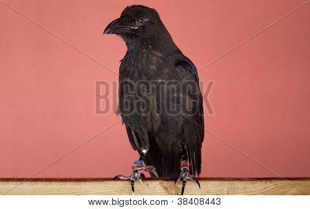 Common Raven Or Black Crow