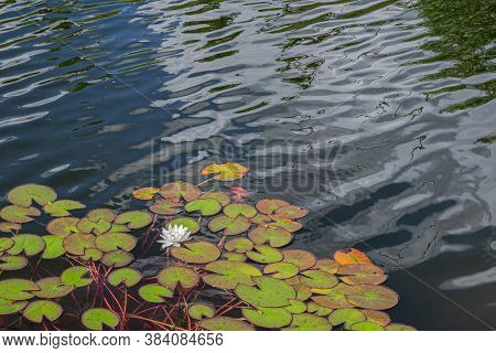 White Lotus Flower Or Water Lily. Lotus Leaves And Lotus Bud In A Pond. Lotus Season In Zaryadye Par