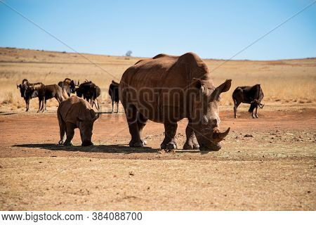 Mother And Baby Rhino Are Standing Next To Each Other. Rhino Family. Safari Wildlife. Wild Animal In